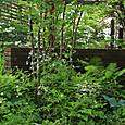 ミツバシモツケが咲く木陰